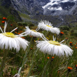 Mt Cook Daisy